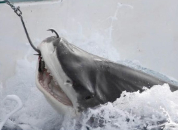 Shark Culling in WA ©CCWA